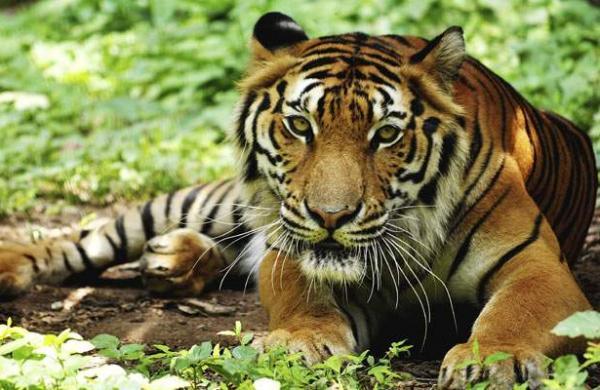 304709-tiger5544