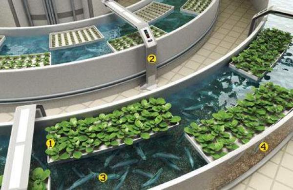 aquaponic-farming-233