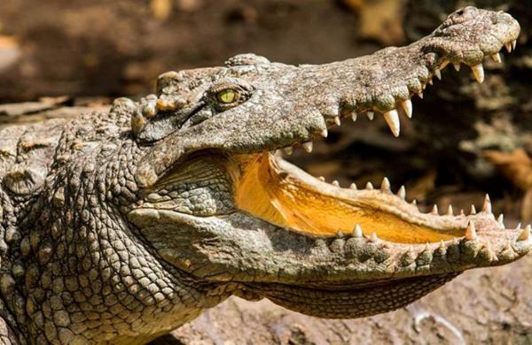Croc33