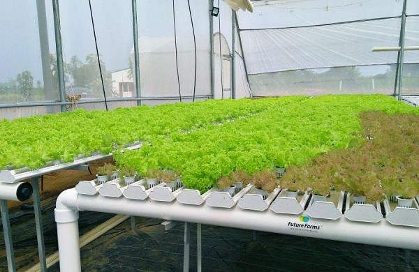 Nursery_for_Lettuce11