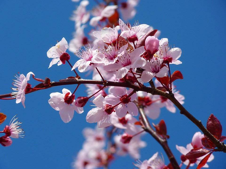India Has It S Own Cherry Blossom Festival Thanks To The Crusader Of Cherry Blossoms Professor Dina Edexlive