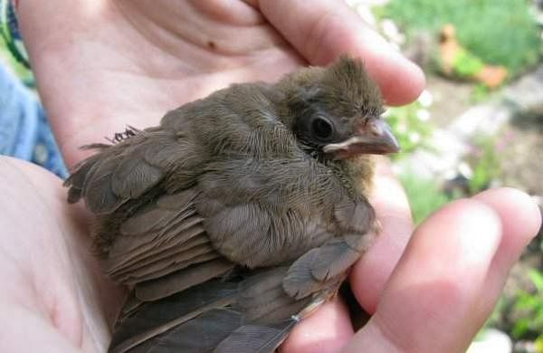 Baby-Cardinal-in-Hands_iab99