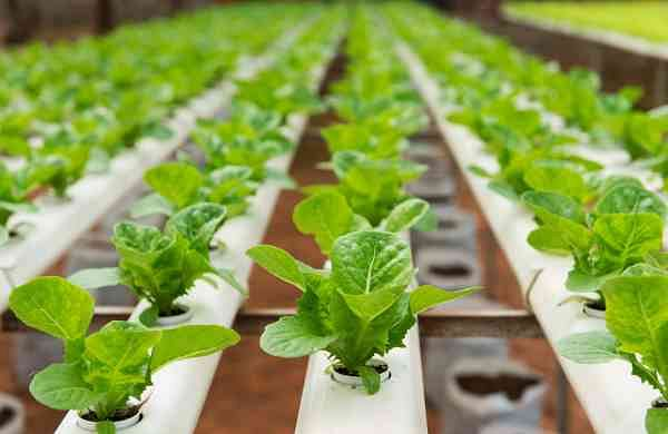 Urban Kisaan uses hydroponics technique to grow plants with minimum mess