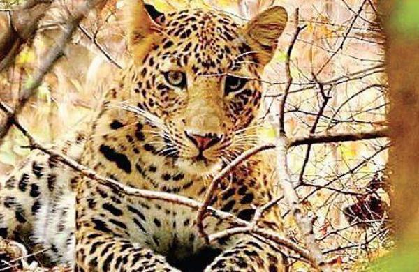 leopard roaming