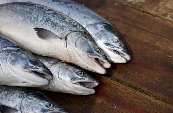 salmon-fish-food-nutrition