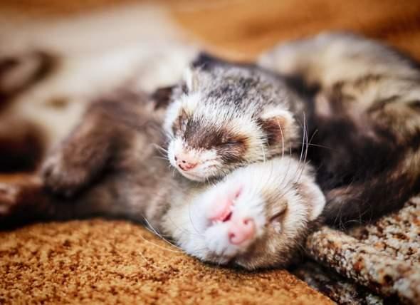 pet-ferrets