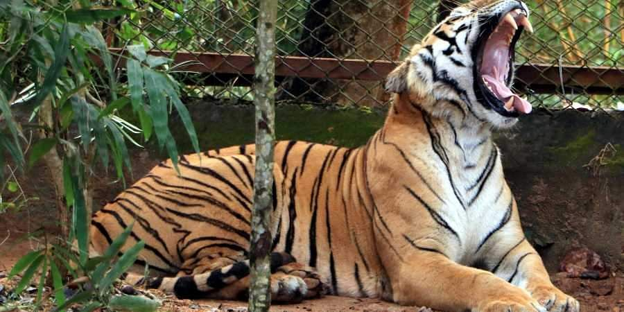 tiger-roar_1