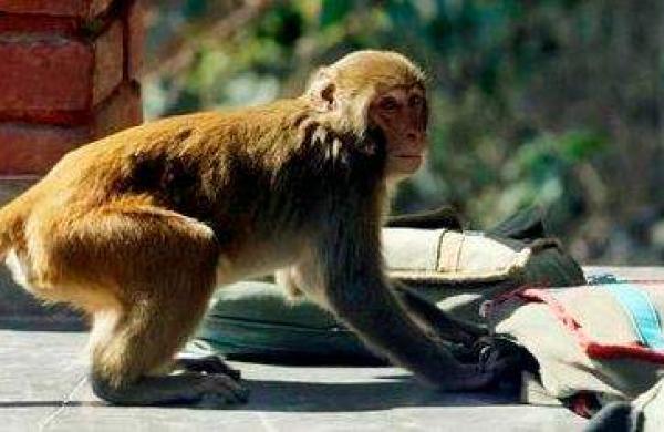 monkey_menace