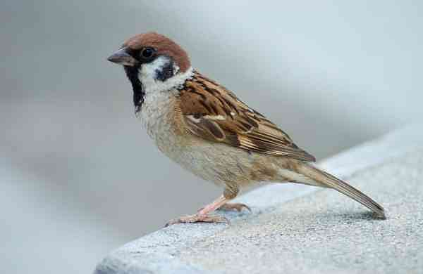 Tree_Sparrow_Japan_Flip