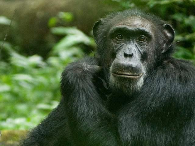 Ape to Human Evolution