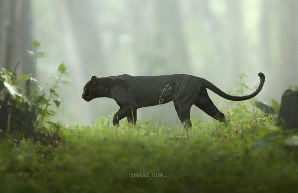 Panther in the Mist by Shaaz Jung (Photo courtesy: Shaaz Jung)