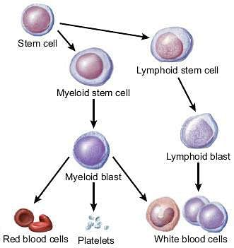 Leukemia_Diagram_Detailing_Stem_Cell_to_Blood_Cell_Maturation_Process