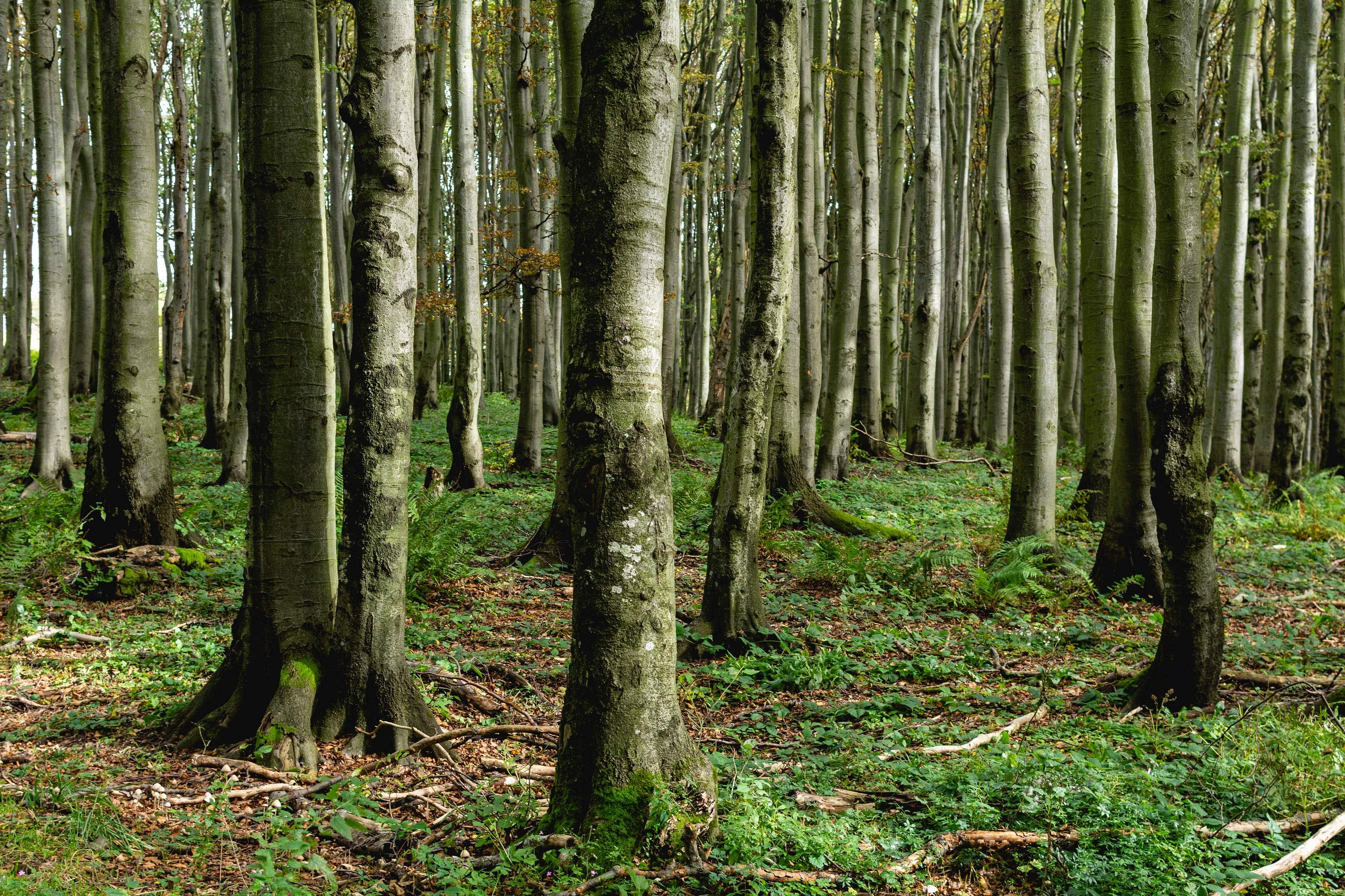 trees-forest_D71_9496-free-image