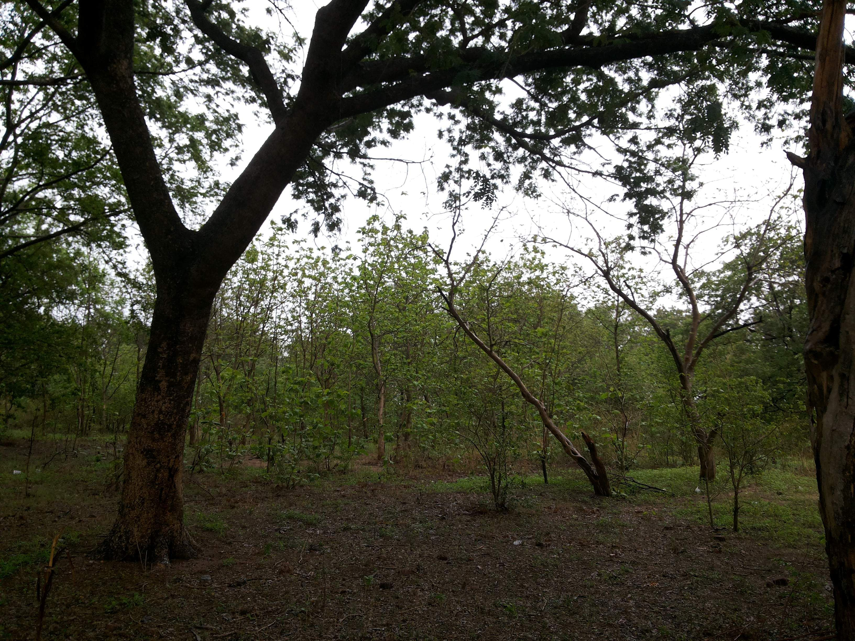 A_Little_Forest_in_Modela,_Luxettipet,_Adilabad,_Telangana,_India