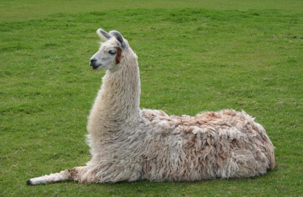 Llama_lying_down