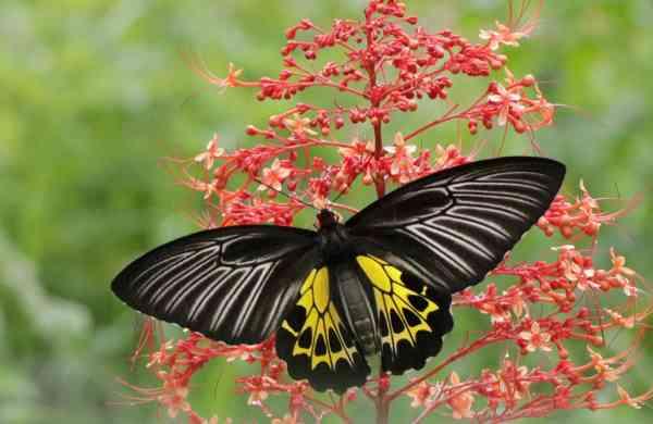 Southern_Birdwing_female